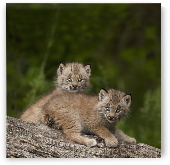 Two Canada Lynx (Lynx Canadensis) Kittens Playing On A Log; Canmore, Alberta, Canada by PacificStock