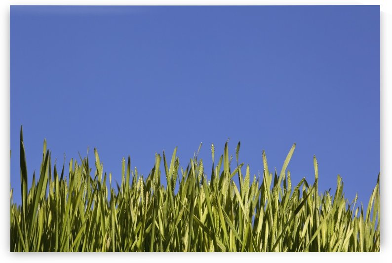 Green Grass Against A Blue Sky; Edmonton, Alberta, Canada by PacificStock