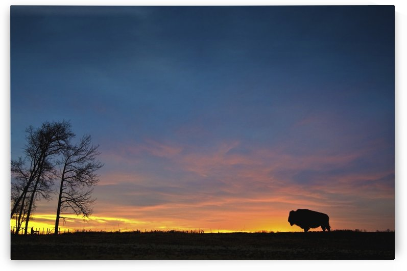 Buffalo At Sunset In Elk Island National Park; Alberta, Canada by PacificStock