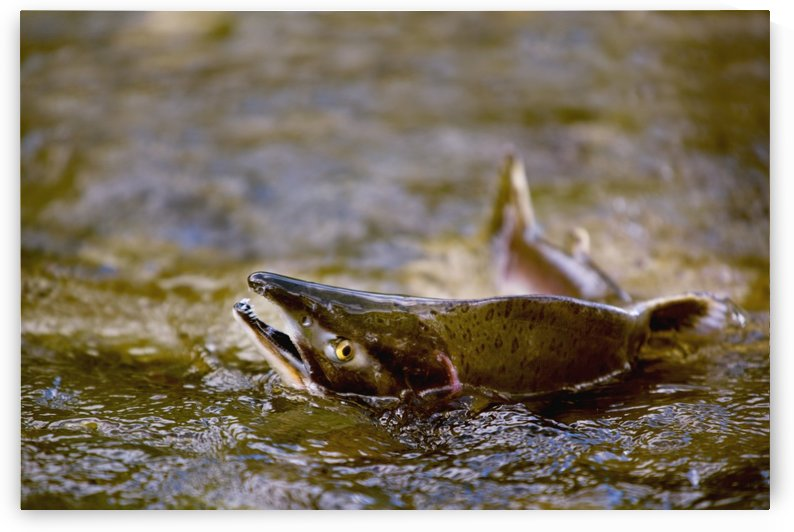 Pink Salmon Struggling To Return To Their Spawning Stream To Lay Their Eggs; British Columbia, Canada by PacificStock