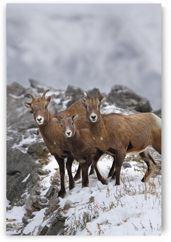 Mountain Sheep Family; Nordegg, Alberta, Canada by PacificStock