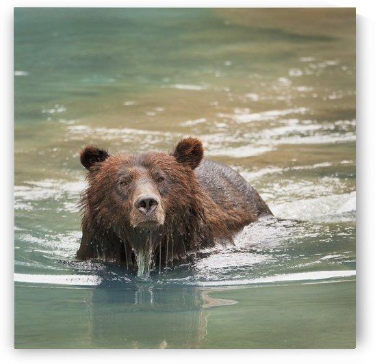 Grizzly Bear (Ursus Arctos Horribilis) Swimming; Hyder, Alaska, Usa by PacificStock
