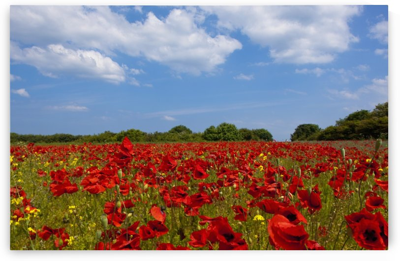 A Field Full Of Red Flowers; Northumberland, England by PacificStock