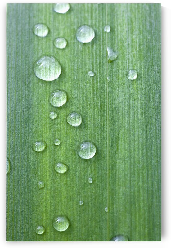 Drops Of Water On A Green Leaf; Northumberland, England by PacificStock