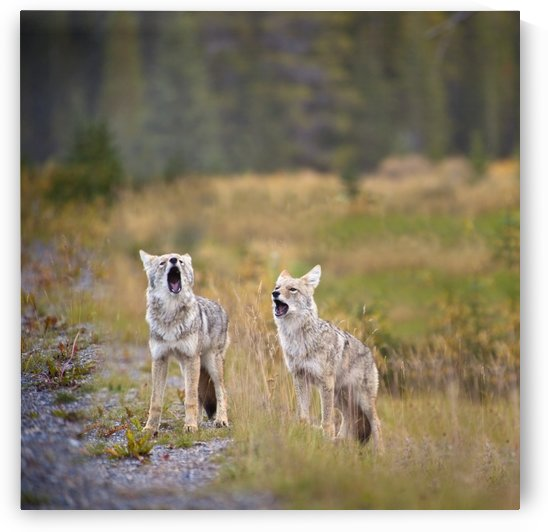 Howling Coyotes (Canis Latrans); Canmore, Alberta, Canada by PacificStock