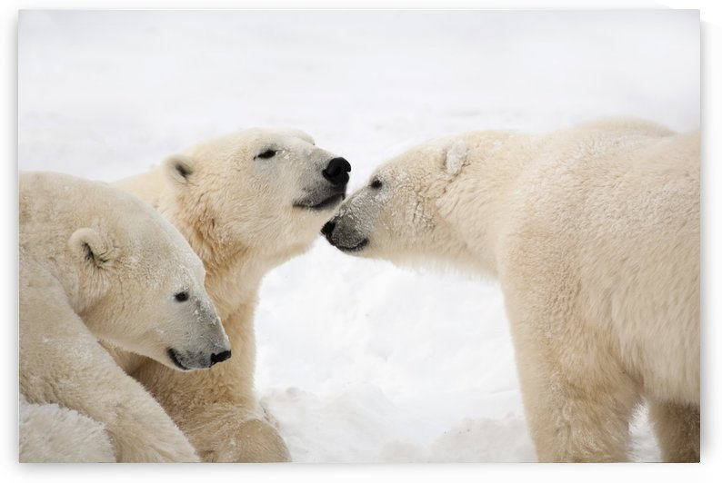 Three Polar Bears (Ursus Maritimus) Being Affectionate; Nunavut, Canada by PacificStock