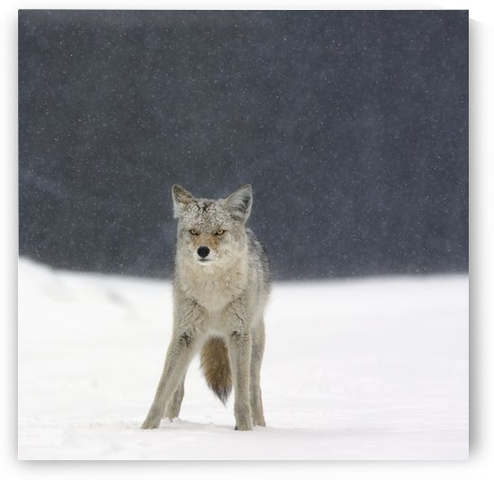 Coyote (Canis Latrans) In Heavy Snowfall In Elk Island National Park; Alberta, Canada by PacificStock