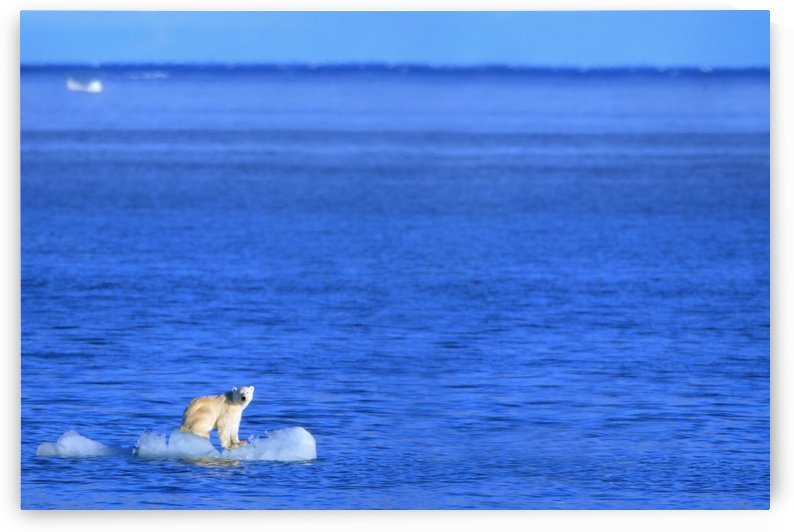 Polar Bear (Ursus Maritimus) Standing On A Piece Of Floating Ice; Coburg Island, Nunavut, Canada by PacificStock