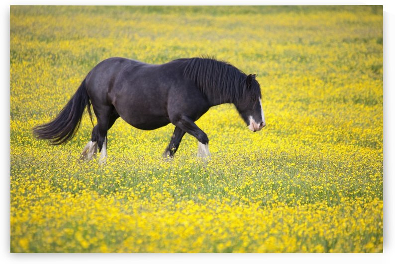 A Horse Walking In A Field Of Yellow Flowers; Northumberland, England by PacificStock