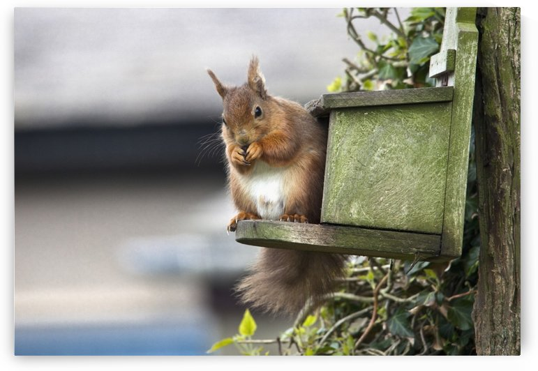 Red Squirrel (Sciurus Vulgaris) Sitting On A Bird House Hung On A Tree Trunk; Northumberland, England by PacificStock