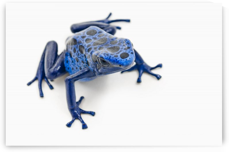 Blue Poison Dart Frog (Dendrobates Tinctorius); Alberta, Canada by PacificStock