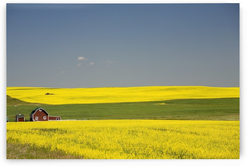 Flowering Canola Fields And A Red Barn; Alberta, Canada by PacificStock