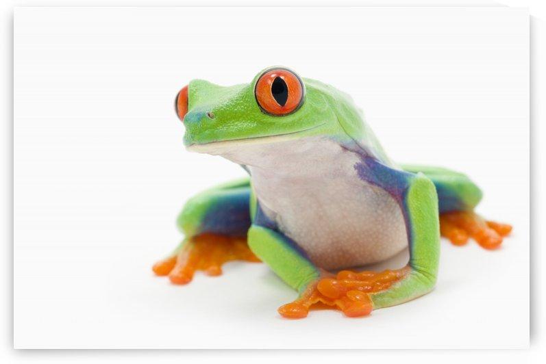 Red-Eyed Treefrog (Agalychnis Callidryas); Alberta, Canada by PacificStock