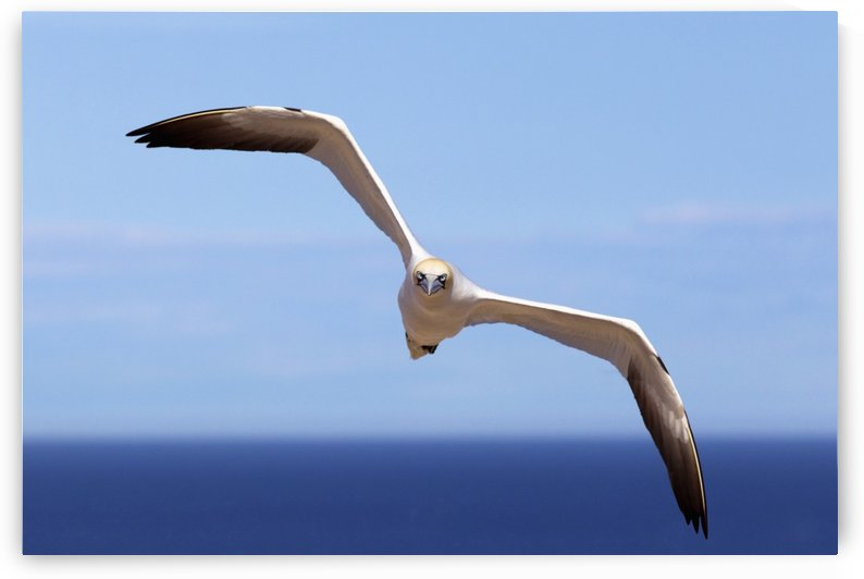 Gannet Flying Over The Water; Perce, Quebec, Canada by PacificStock