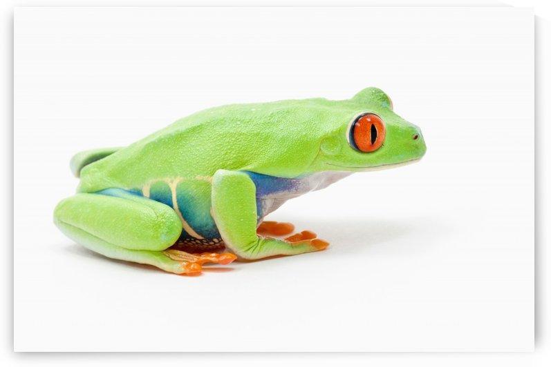 Red-Eyed Tree Frog (Agalychnis Callidryas); Edmonton, Alberta, Canada by PacificStock
