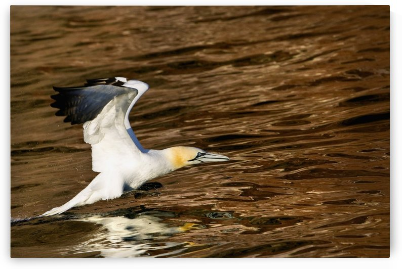 Gannet Flying Away From Water Level After Missing A Fish It Had Dived For; Perce, Quebec, Canada by PacificStock