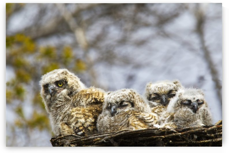 Four Great Horned Owl (Bubo Virginianus) Chicks; Edmonton, Alberta, Canada by PacificStock