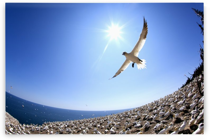 Gannet Flying On A Journey To Find His Mate At Bonaventure Island; Perce, Quebec, Canada by PacificStock