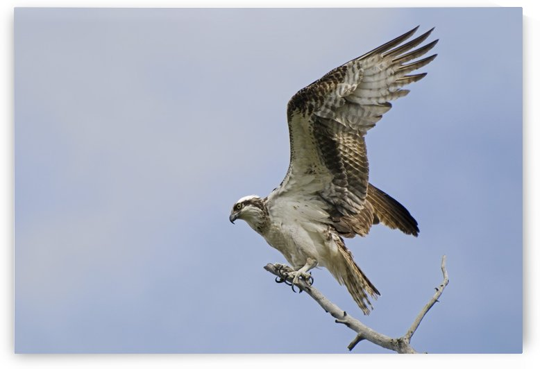 Osprey (Pandion Haliaetus) On A Tree Branch; Calgary, Alberta, Canada by PacificStock