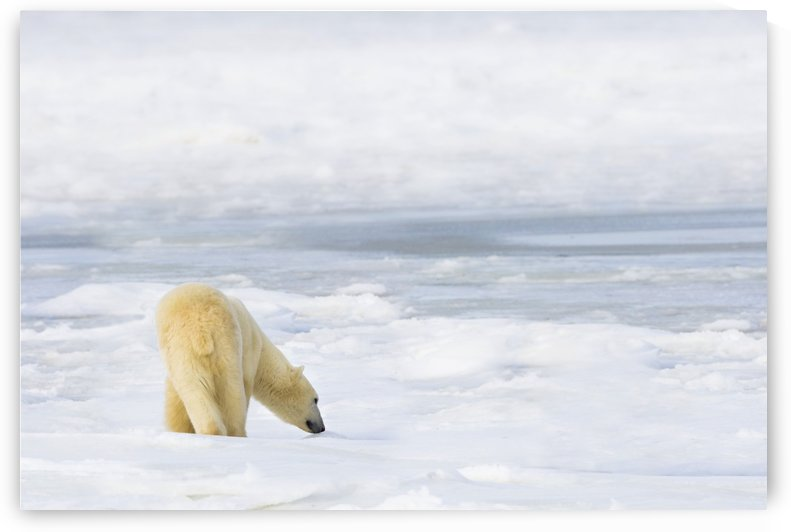 Polar Bear (Ursus Maritimus) Being Curious, Sniffing And Exploring Territory For Food; Churchill, Manitoba, Canada by PacificStock