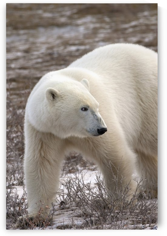 Polar Bear (Ursus Maritimus) Who Is Very Dangerous Looking As He Explores The Territory; Churchill, Manitoba, Canada by PacificStock