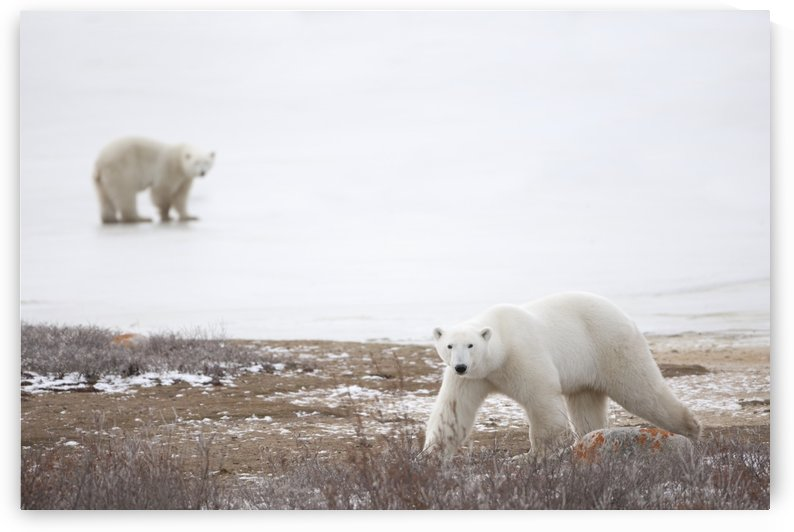 Polar Bears (Ursus Maritimus) Staring Ahead As They Walk Across The Frozen Tundra; Churchill, Manitoba, Canada by PacificStock