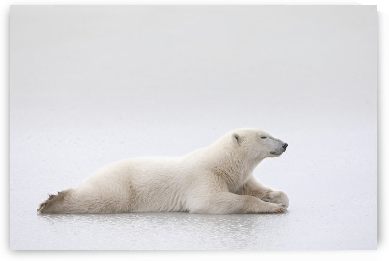 Polar Bear (Ursus Maritimus) Laying On A Lake Of Ice; Churchill, Manitoba, Canada by PacificStock