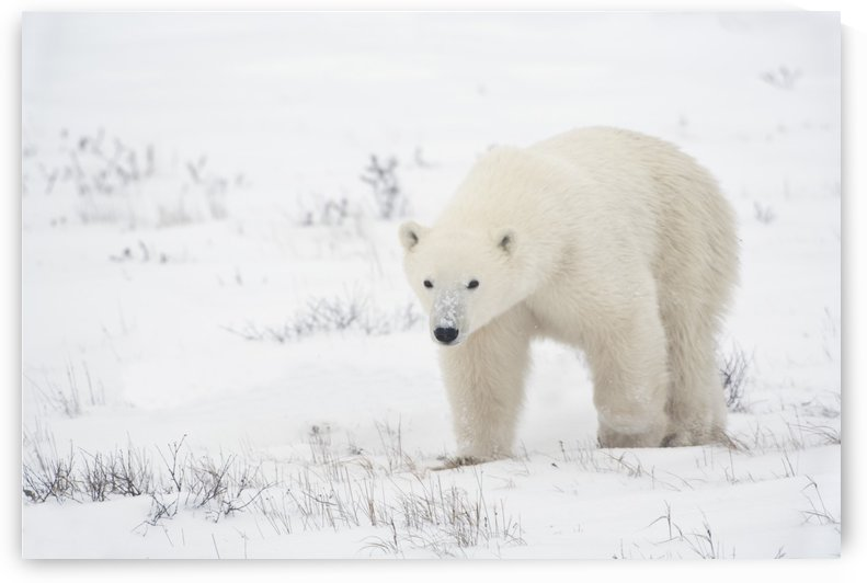 Young Polar Bear (Ursus Maritimus) Walks Across The Snow; Churchill, Manitoba, Canada by PacificStock