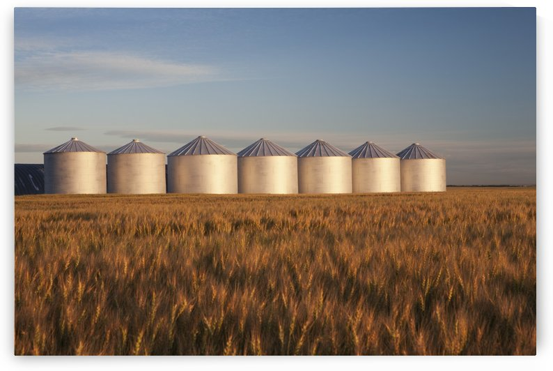Row Of Shiny Metal Grain Bins In A Wheat Field At Sunrise; Alberta, Canada by PacificStock