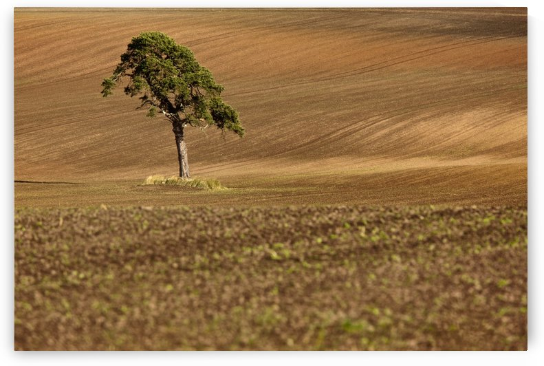 A Single Tree In A Field; Scottish Borders, Scotland by PacificStock