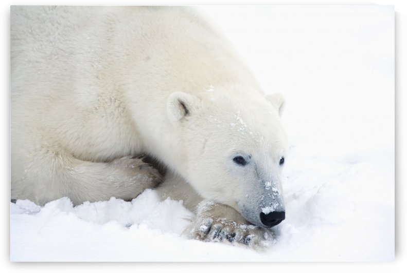 Polar Bear (Ursus Maritimus) Has His Eyes Open During A Very Peaceful Rest; Churchill, Manitoba, Canada by PacificStock