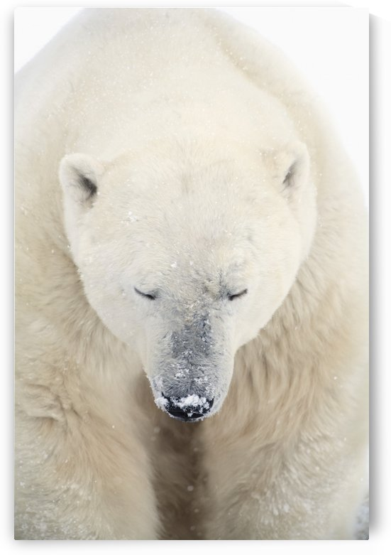 A Polar Bear (Ursus Maritimus) Resting With It's Eyes Closed; Churchill, Manitoba, Canada by PacificStock