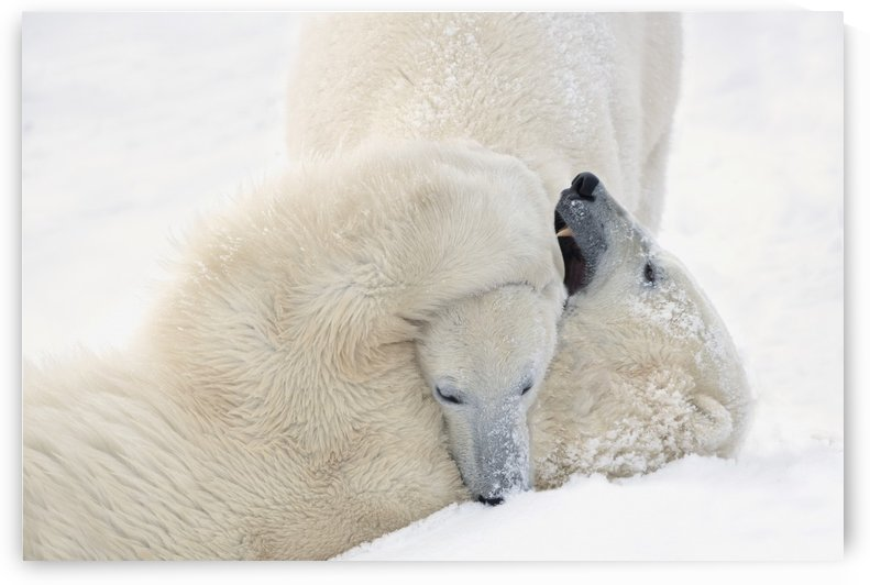 Two Polar Bears (Ursus Maritimus) Play Fighting To Sharpen Their Hunting Skills As They Wait For The Ice To Freeze Over At Hudson Bay; Churchill, Manitoba, Canada by PacificStock