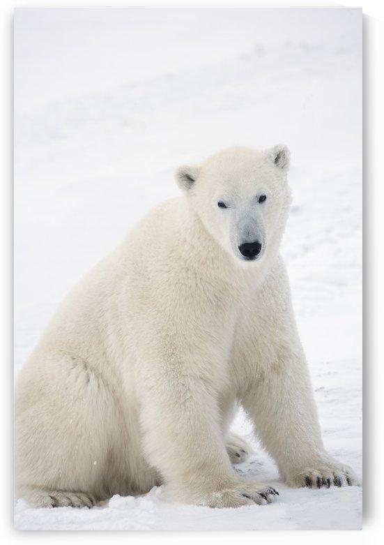 Polar Bear (Ursus Maritimus) Sitting On His Hind Legs Gazing Into The Camera; Churchill, Manitoba, Canada by PacificStock