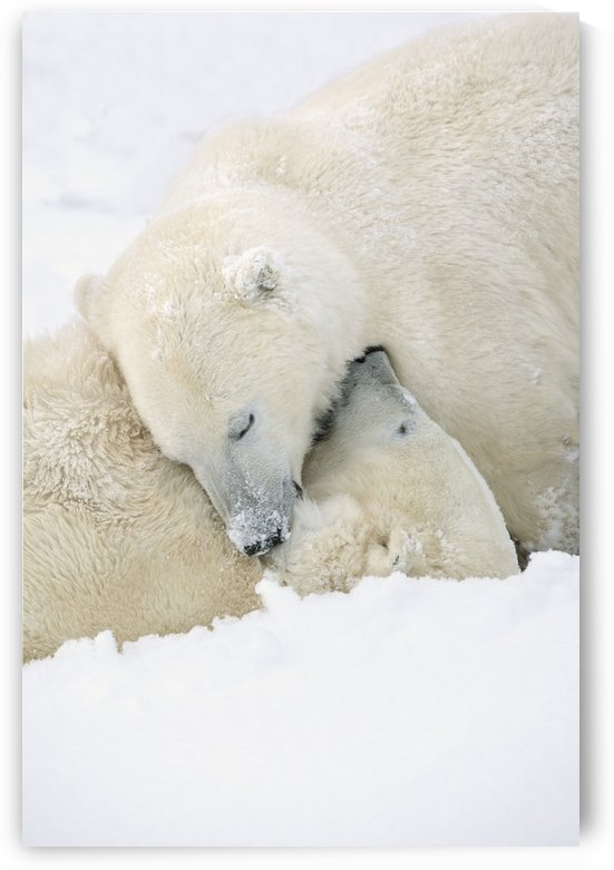 Two Polar Bears (Ursus Maritimus) Using Each Other For Pillows As They Sleep Blissfully; Churchill, Manitoba, Canada by PacificStock