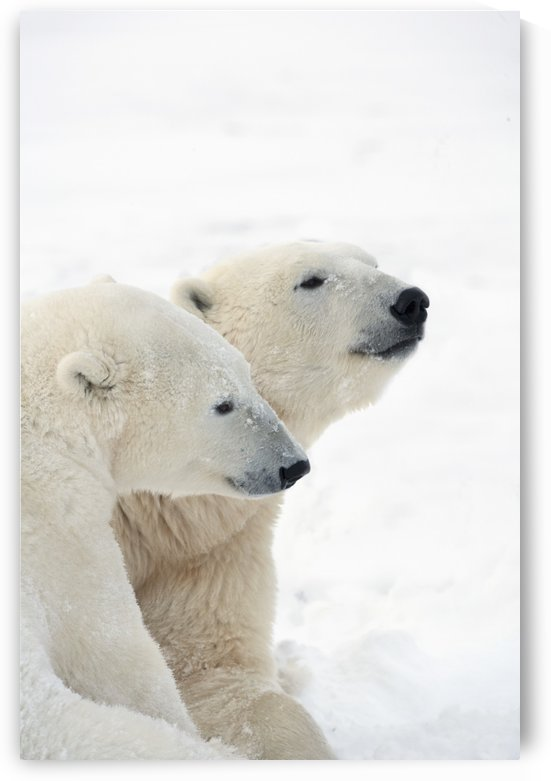 Two Polar Bears (Ursus Maritimus) Showing A Tender Moment As They Cuddle Side By Side; Churchill, Manitoba, Canada by PacificStock