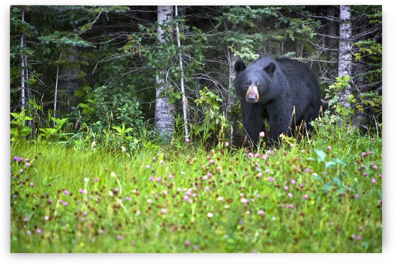 A Black Bear (Ursus Americanus) Gazes At The Camera; Jasper, Alberta, Canada by PacificStock