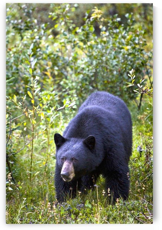 A Black Bear (Ursus Americanus); Jasper, Alberta, Canada by PacificStock