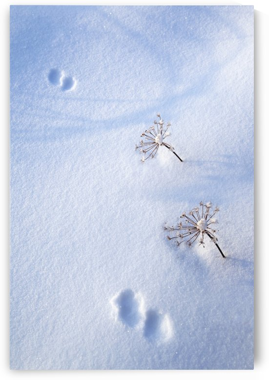 Animal Footprints In Fresh Snowfall; Hyder, Alaska, Usa by PacificStock