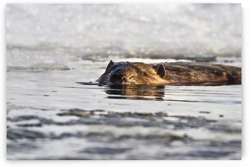 Beaver Swimming In The Water In Early Spring With Snow In The Background At Elk Island National Park; Alberta, Canada by PacificStock