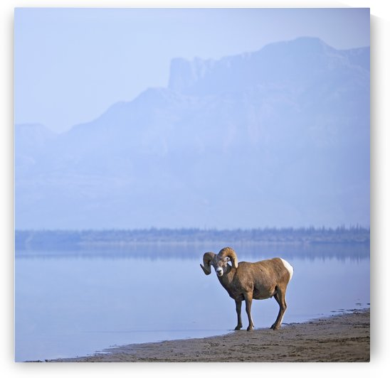 Bighorn Sheep (Ovis Canadensis) On Water's Edge In Banff National Park; Alberta, Canada by PacificStock