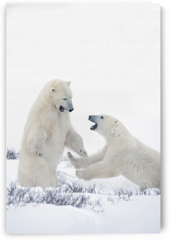 Two Polar Bears Play Fighting To Sharpen Their Hunting Skills As They Wait For The Ice To Freeze Over At Hudson Bay; Churchill, Manitoba, Canada by PacificStock