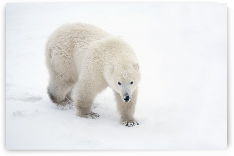 A Lone Polar Bear (Ursus Maritimus) Walks Up And Stares Into The Camera With A Curious Look; Churchill, Manitoba, Canada by PacificStock