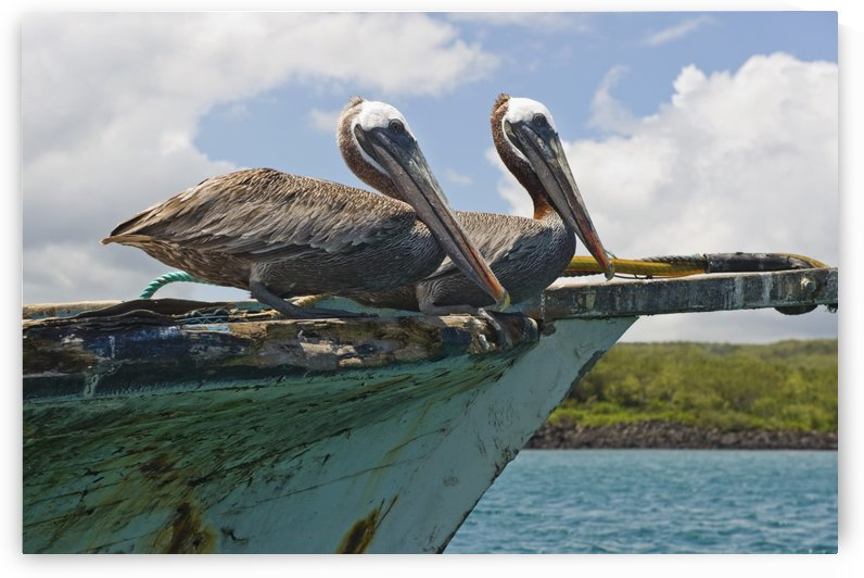 Two Pelicans (Pelecanus Occidentalis) On A Derelict Boat In The Harbor; San Cristobal, Galapagos Islands, Ecuador by PacificStock