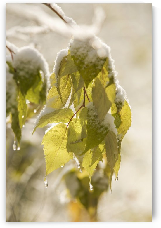 Green Leaves Covered With Snow And Ice; Thunder Bay, Ontario, Canada by PacificStock