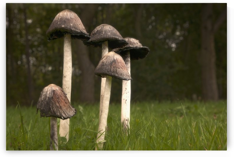 Mushrooms With Tall Stems Growing In The Grass; Northumberland, England by PacificStock