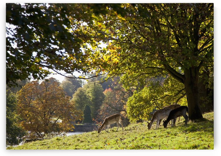 Deer (Cervidae) Grazing On The Grass By Water; North Yorkshire, England by PacificStock