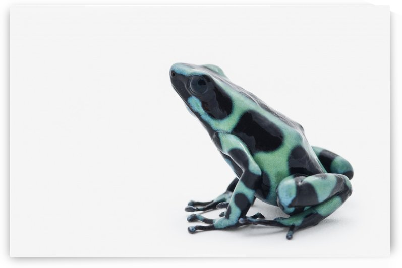 Black And Green Poison Dart Frog (Dendrobates Auratus) by PacificStock