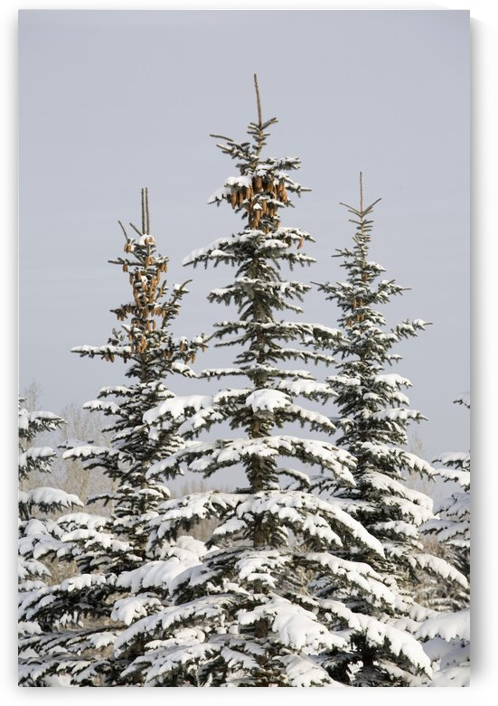 Snow Covered Evergreen Trees; Calgary, Alberta, Canada by PacificStock