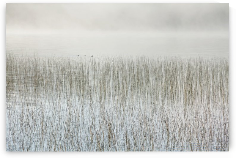 Mist On A Lake With Reeds; Ontario, Canada by PacificStock
